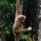 Lar Gibbon